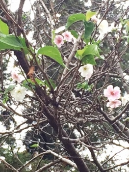 IMG_0934 寒桜.jpg