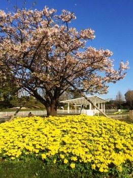 IMG_2082 (2) 玉縄桜.jpg