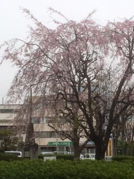 IMG_2273 南口枝垂れ桜.jpg
