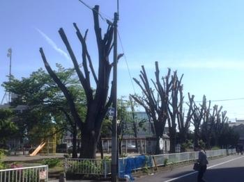 IMG_2526 伐採欅のその後.jpg